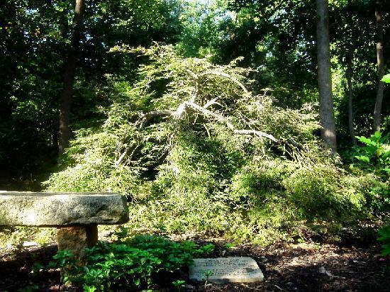 Hatcher Garden & Woodland Preserve : Unusual evergreen