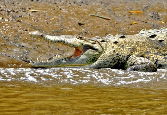 Corcovado National Park: crocodile