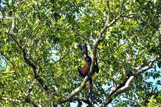 Corcovado National Park: monkey