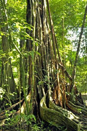 Corcovado National Park: rainforest trees