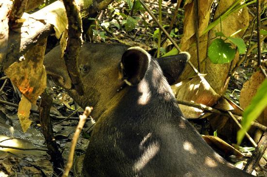 Corcovado National Park: Tapir, largest land animal in Central and South America