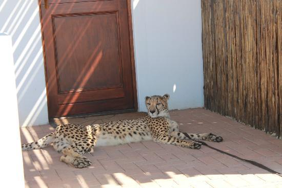Inverdoorn Game Reserve: cheetah outside our roon