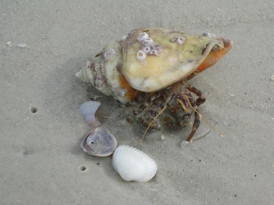 Clearwater Beach: this hermit crab has the right idea!