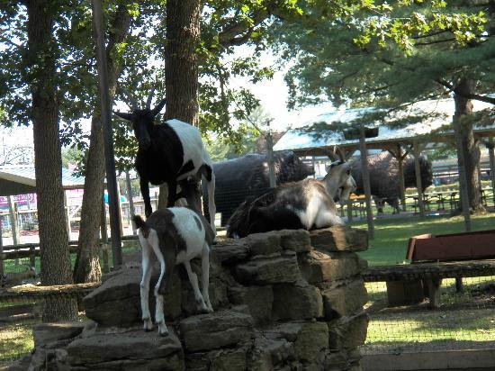 Wisconsin Deer Park: Goat land
