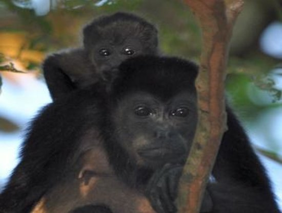 El Sueño Tropical: Howler monkeys are your wake-up call
