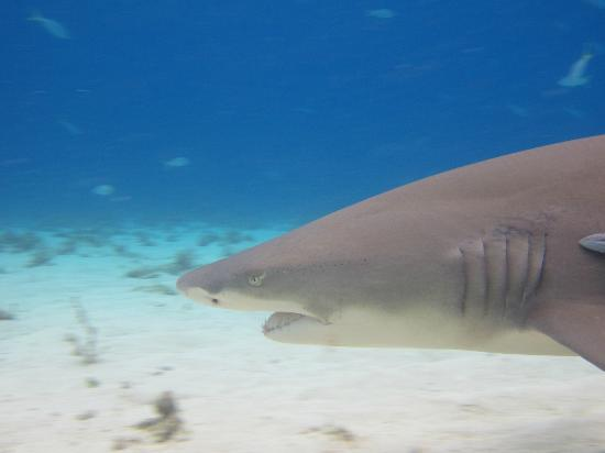 Stuart Cove's Tiger Beach Safaris - Day Tours : Lemon shark