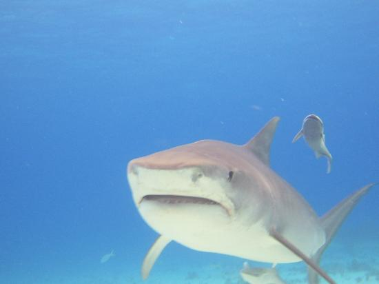 Stuart Cove's Tiger Beach Safaris - Day Tours : Tiger shark
