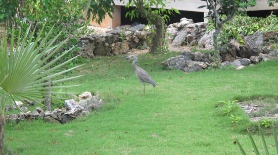 Pineapple Fields Resort: a nice bird walk in the pineapple beach garden