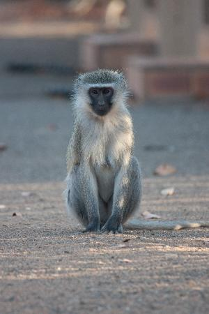 Shingwedzi Rest Camp: monkey is watching our cottage......