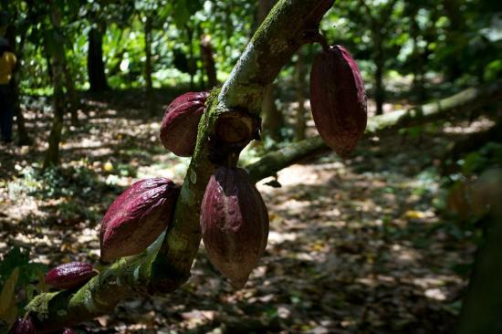 Carupano, Venezuela: Hacienda Chocolates Paria