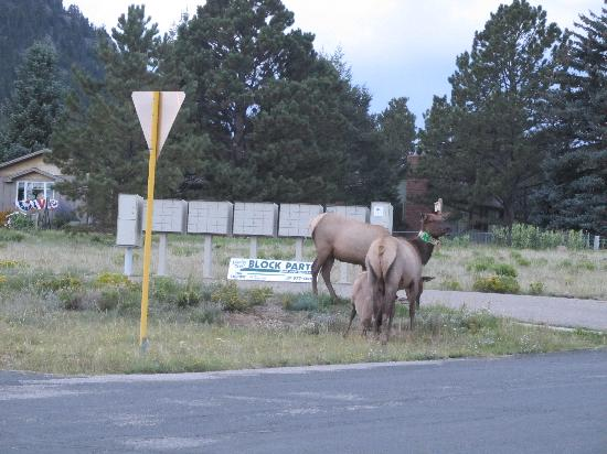 Rocky Mountain Park Inn: elk spotted across street