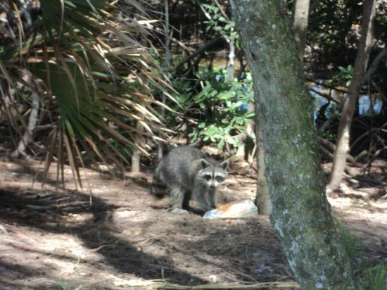 Tierra Verde, FL: Raccoon  se llevo la comida de un visitante en el parque