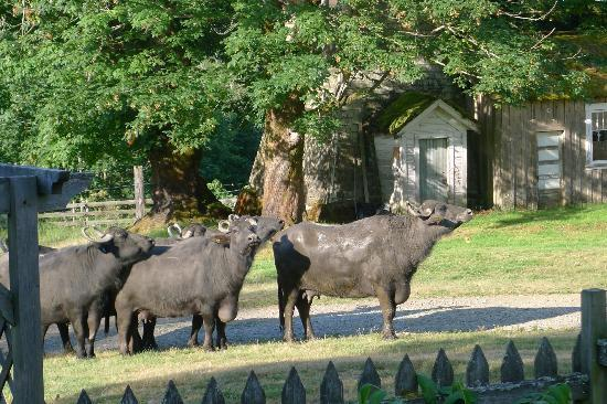 Fairburn Farmstay and Guesthouse: water buffalo