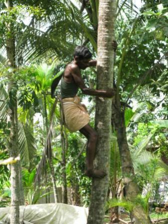 Nelpura Heritage Homestay: collecting coconuts in the garden