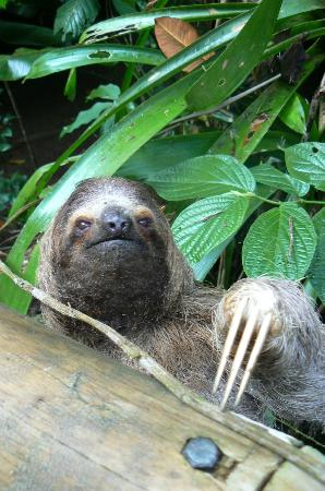 Province de San Jose, Costa Rica : Sloth - One of the many exotic animals in Costa Rica