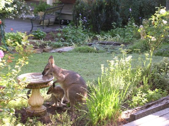 ‪‪Mandalong‬, أستراليا: Wallaby and Joey in Courtyard‬