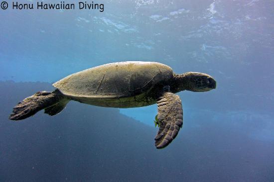 Honu Hawaiian Diving : Honu