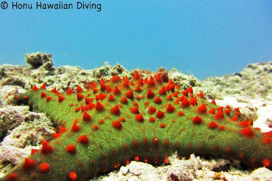 Honu Hawaiian Diving : Star Fish
