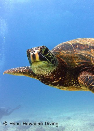 Honu Hawaiian Diving: Honu