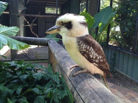 Daintree Wild Zoo: kookaburra