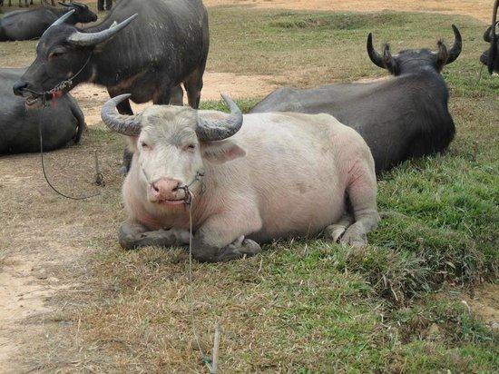 Kengtung, Myanmar: Bufalo