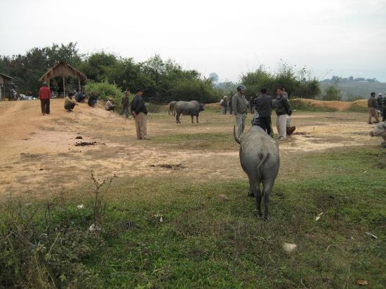 Water Buffalo Market: Bufalo