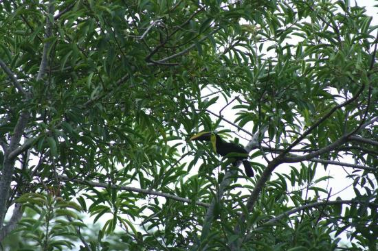 TikiVillas Rainforest Lodge & Spa: A Tucan perched in front of our room one morning