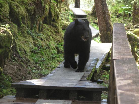 Anan Creek Bear Observatory: Up close and personal! Go on bear...