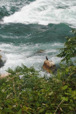 Niagara Gorge Trail: Cormorant fishing.