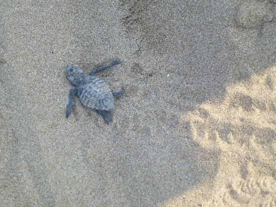 Roseland Hotel: baby turtle heading for the sea