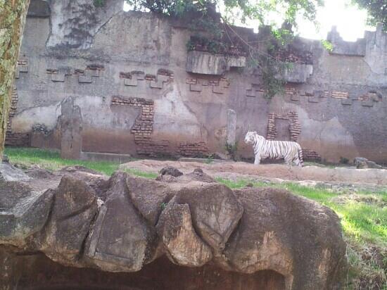 La Aurora Zoo: tigre de vengala