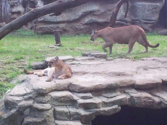 La Aurora Zoo: pumas