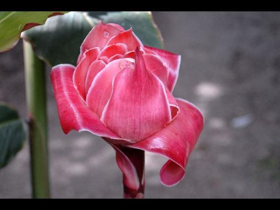 Hotel Regis Panajachel: Rose de Porcelaine