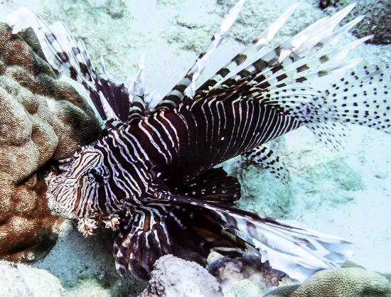 The Dive Centre - The Big Fish: scorpion fish