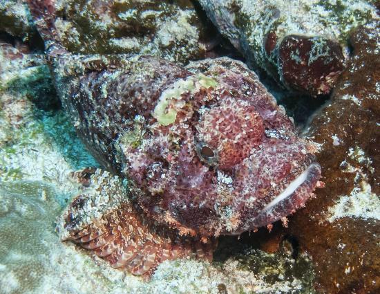 The Dive Centre - The Big Fish: stone fish