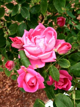 Red Horse Inn - Falmouth: Roses and Roses and more Roses
