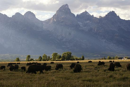 Antelope Flats: Bison herd with the Grand Tetons in the background