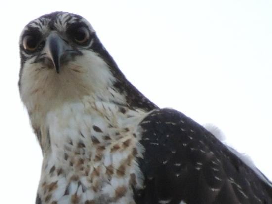 Red Horse Mountain Ranch: osprey