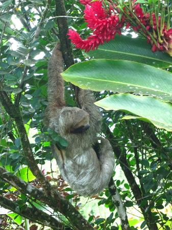 Rio Celeste Hideaway Hotel: a sloth near the grounds entrance