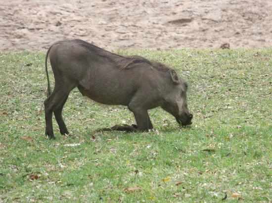 Motswari Private Game Reserve: baby warthog taken outside bar area