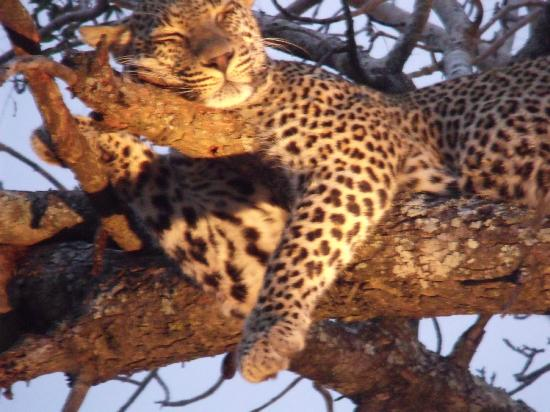 Motswari Private Game Reserve: leoapard up a tree