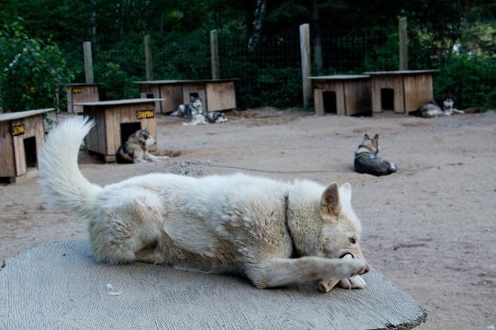 Entre chien et loup: Pacha, l'un des chiens de Vanessa