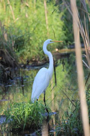 Huntley Meadows Park: Great Egret
