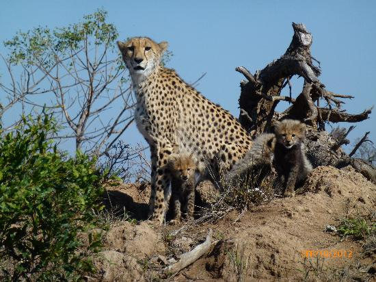 Jackalberry Lodge : Cheetah and cubs