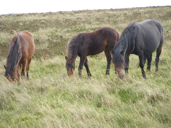 The Bark House: Dartmoor Ponies