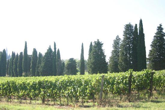 Agriturismo La Striscia: vineyard
