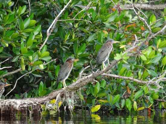Tour the Glades - Private Wildlife Tours: Baby green herons at the Rookery