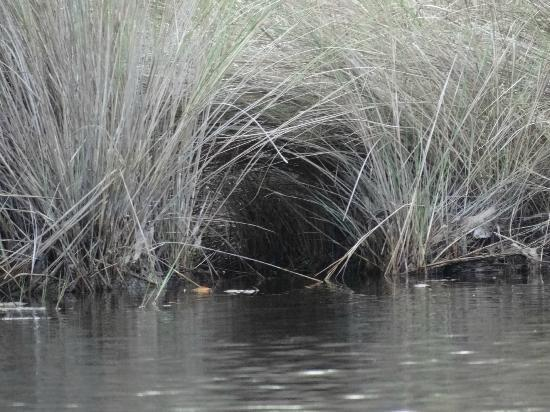 Tour the Glades - Private Wildlife Tours: Grassy place where an alligator made a nest