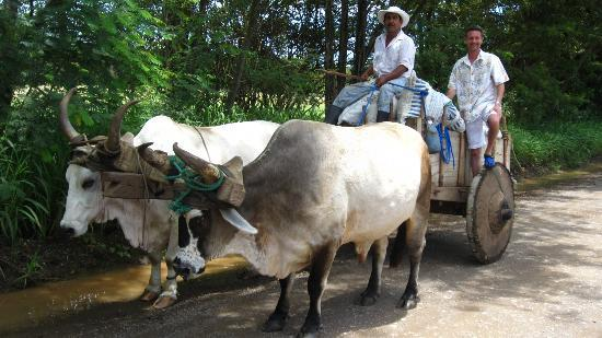 Papagayo Green Bay Day Tours: An ox and cart