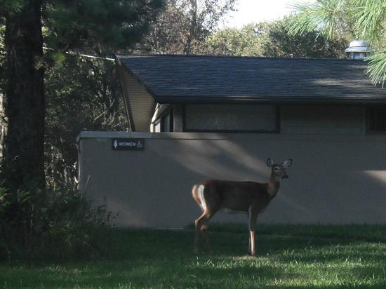 Big Meadows Campground: Deer near the bathroom